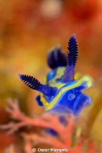 Hypselodoris tricolor by Oscar Miralpeix