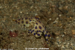 Blue O-Ring Octopus Lembeh Strait !!! 105mm Lens, Iso 160... by Lionel De Landtsheer