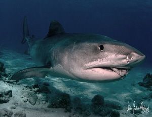 Emma enjoys a treat during a recent dive at Tiger Beach -... by Steven Anderson