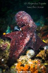 Majestic Octopus, Galapagos Ecuador   by Alejandro Topete