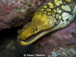 Tiger moray taken with Olympus E-PL3 using kit lens 14-42... by Dawn Thomas