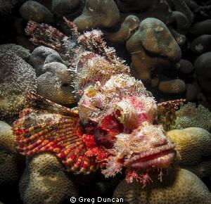 Scorpion Fish by Greg Duncan