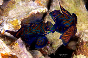 Behavior of  Mandarinfishes 