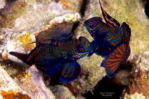 Behavior of  Mandarinfishes   by Iyad Suleyman