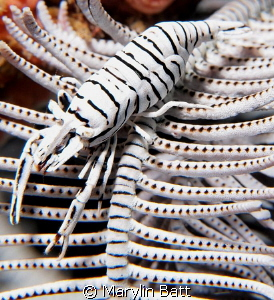 Crinoid Shrimp a study iin Black and White. by Marylin Batt