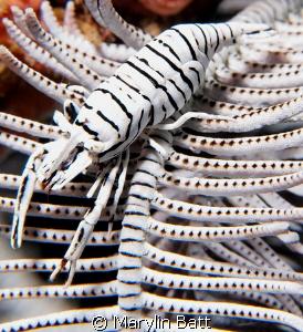 Crinoid Shrimp a study iin Black and White. by Marylin Batt