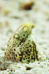 Tiny Marbled Snake eel. by Cigdem Cooper
