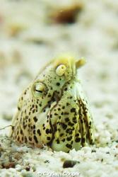 Tiny Marbled Snake eel. by Cigdem Cooper