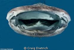 Whale Shark visits Pompano Beach Florida Sunday November ... by Craig Dietrich