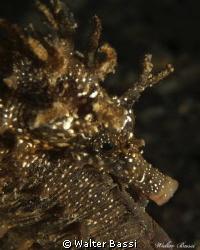 Hyppocampus guttulatus by nigth by Walter Bassi