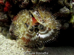 Christmas tree worm portrait by Laura Dinraths