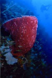 Barrel sponge and diver. Taken somewhere off St. Lucia, 0... by Matthew Shanley
