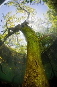Tree by Tony Cherbas