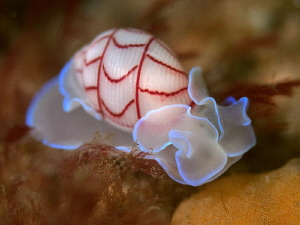 Red-lined bubble-shell, Bullina lineata. Pipeline, Nelson... by Doug Anderson