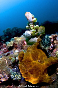 Frogfish Close Focus Wide Angle Shot taken with fisheye... by Iyad Suleyman