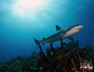 Reef Shark grazing the reef - Bahamas by Steven Anderson