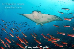 Eagle Ray flying on the reef by Alejandro Topete
