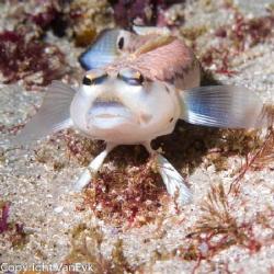 grubfish (Parapercis), Jervis Bay 2012 by Bill Van Eyk