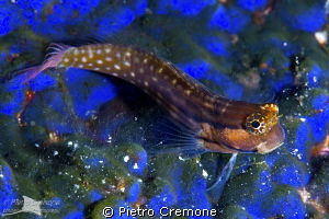 Blenny on blue sponge by Pietro Cremone