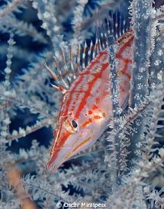 Longnose Hawkfish  by Oscar Miralpeix