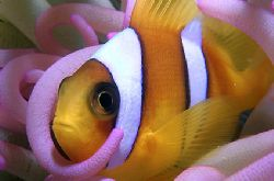 Clown fish - Red Sea - Egypt by Eduardo Lima