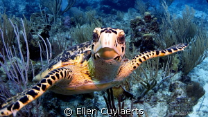 Follow me!  Hawskbill turtle ready for a dialogue! by Ellen Cuylaerts