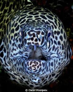 Moray eel close up by Oscar Miralpeix