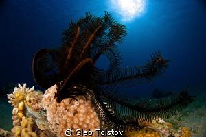 Crinoid by Gleb Tolstov