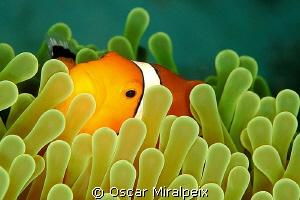 Clownfish by Oscar Miralpeix