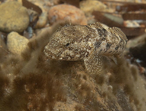 curious goby by Chris Krambeck