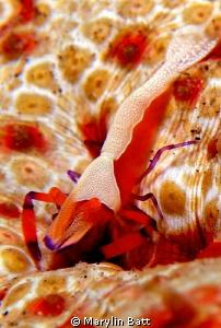 Emperor shrimp on sea cucumber. by Marylin Batt