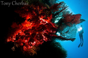 Backlight Series: #2. Soft Coral Explorer by Tony Cherbas