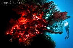Backlight Series: #2. Soft Coral Explorer by Tony Cherbas