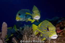 three lip fish by Babula Mikulova