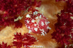 Candy cowrie by Todd Moseley