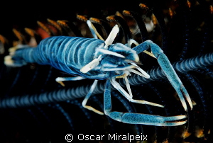 Crinoid shrimp by Oscar Miralpeix