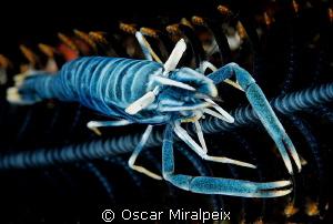 Crinoid shrimp by Oscar Miralpeix