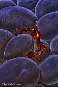 The orang-utan crab Achaeus japonicus (processed in HDR) by Marco Faimali (ismar-Cnr)