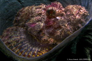 Bearded Scorpionfish (Scorpaenopsis barbata) on coral spo... by Marco Faimali (ismar-Cnr)
