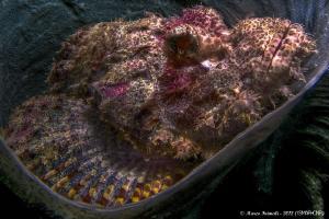 Bearded Scorpionfish (Scorpaenopsis barbata) on coral spo... by Marco Faimali (ismar-Cnr)