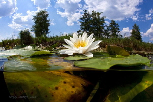 Water-lily. River.  by Sergey Lisitsyn