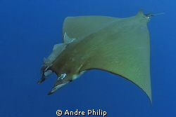 the nice olive green backside of a mobula ray by Andre Philip