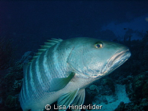 Cubera Snapper- by Lisa Hinderlider
