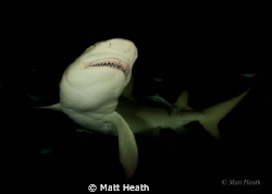 Lemon Shark Showing Off that Menacing Smile by Matt Heath