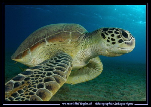 Green Turtle in the Red Sea... Last week in Marsa Shagra.... by Michel Lonfat