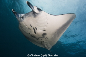 Manta flying at Bali by Cipriano (ripli) Gonzalez