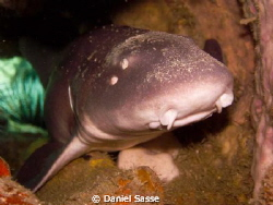 White Spotted Bamboo Shark laying in a Tunnel sleeping du... by Daniel Sasse