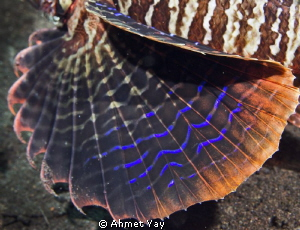 Detail of lion fish fin...:) Bali, Seraya Point Canon 6... by Ahmet Yay