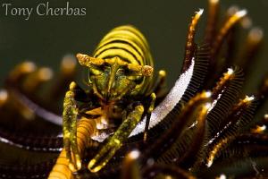 Life on a Crinoid by Tony Cherbas