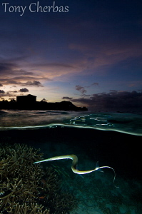 Flute Fish Getting Snaky at Dusk by Tony Cherbas